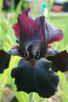 TB Iris germanica 'Satan's Mistress' (Seligmann, - Black and Blood Red Flower