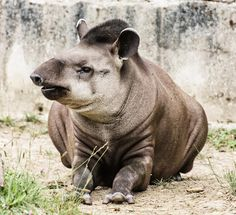 Tapirs aren't very tall—the largest doesn't quite reach 4 feet at the shoulder—but they are rotund. The Malayan tapir, the only species native to Asia, can weigh 720 pounds or more. The other four species are smaller. In 2013, scientists described a new species, the kabomani tapir, which is the littlest, weighing an estimated 240 pounds or so.