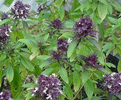Reyhan MucizesiÖzellikle bahar aylarında pazarların yeşillik tezgahlarının vazgeçilmezidir reyhan. Mevsiminde kurutularak kışın da kullanılır. Lezzetinin yanında pek çok faydası vardır.    Yazının Devamı: Reyhan Mucizesi | Bitkiblog.com  Follow us: @bitkiblog on Twitter | Bitkiblog on Facebook