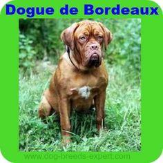 21 Calm Dog Breeds - Breeds that tend to be calm by nature. Calm Dog Breeds, Dogs, Animals, Dogue De Bordeaux, Animales, Animaux, Pet Dogs, Doggies, Animal