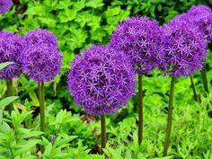 Try one of these five top varieties of allium (also known as ornamental onion) to add a big purple splash to your summer garden. Large Flowers, Dried Flowers, Purple Flowers, Plants That Repel Bugs, Fall Plants, Natural Mosquito Repellant, Mosquito Repelling Plants, Begonia, Golden Chain Tree