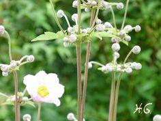 Japananemone - bereits vor der Blüte von besonderem Reiz