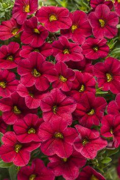 Superbells®+Red+-+Calibrachoa+hybrid Petunias, Red Flowers, Beautiful Flowers, Winter Flowers, Summer Flowers, Small Flowers, Red Plants, Shade Plants, Flower Pot Design