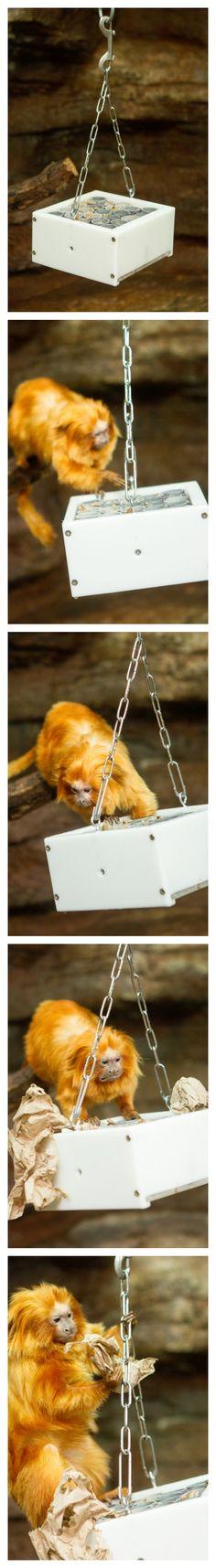 Honeycomb PVC Feeder for Golden-Lion Tamarin at Saint Louis Zoo.