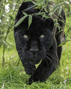 Black Cat Magic: Cats Vs Panthers - World's largest collection of cat memes and other animals Beautiful Cats, Animals Beautiful, Black Cat Adoption, Black Cat Comics, Black Cats, Black Panther Cat, Magic Cat, Photo Chat, Black Panthers