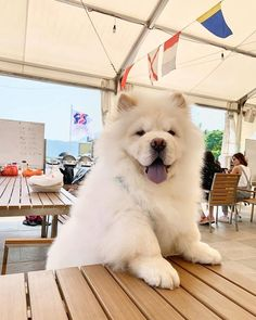 Gimme my food hooman! Cute Baby Dogs, Cute Cats And Dogs, Cute Puppies, Dogs And Puppies, Perros Chow Chow, Chow Chow Dogs, Princess Dog Bed, Big Fluffy Dogs, Cute Cat Gif