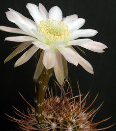 Echinopsis melanopotamica