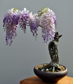 Bonsai Wisteria. i really love these plants, maybe one for the home?