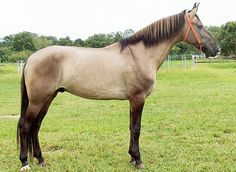 Campolina Horse: The Campolina is one of the larger Brazilian breeds and… Grulla Horse, Dun Horse, Buckskin Horses, Breyer Horses, Burritos, Campolina, Different Horse Breeds, Rare Horses, Horse Facts