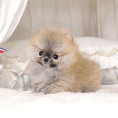 Pomeranian – CLARA (Teacup)