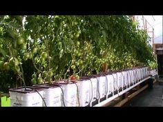 Update Dutch Bucket Hydroponic Tomatoes Oktober 2012 HD - Another! Home Hydroponics, Hydroponic Farming, Hydroponic Growing, Aquaponics, Growing Plants, Hydroponic Systems, Hydroponic Tomatoes, Hydroponic Vegetables, Indoor Vegetable Gardening