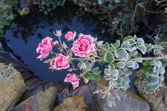 rose with early morning frost, nov  2014