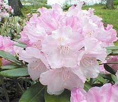 R. 'Pink Parasol' -15 degrees