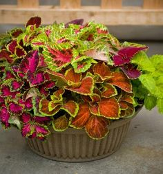 Check out the deal on Coleus Jazz Combo Mix 50 seeds at Hazzard's Home Gardener Container Plants, Jazz, Seeds, Check, Jazz Music, Houseplants, Planters