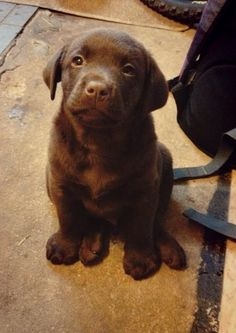 My Dexter at 8 weeks! Chocolate labs are adorable!!