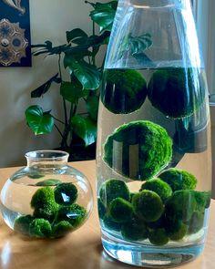 Indoor Garden, Garden Plants, Indoor Plants, Inside Plants, Cool Plants, Terrariums, Marimo Moss Ball Terrarium, Water Terrarium, Aquatic Plants