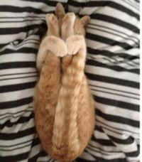 chat contorsionniste