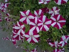 Gorgeous striped white and purple petunias along Park Avenue and Central Park, in Winter Park, Florida.  Someone said they look circus-y and I believe she's correct!