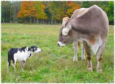 Smitty, left, a miniature bull, greeting Franke, a Brown Swiss steer