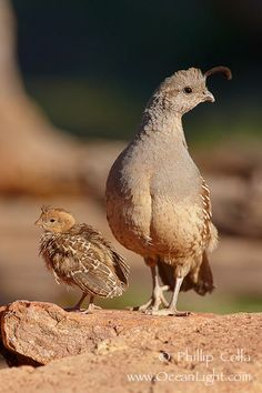 ...baby quail under mom watchful eye!