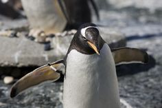 happy pinguin by Erika A B on 500px