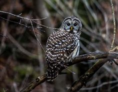 Finally after years of not seeing any owls, I found this beauty while out hiking in the Highland Creek Ravine in Scarborough.     I had the dog with