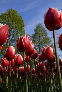 Tulip - Standing in line , Keukenhof Gardens, Lisse, Netherlands - Uma das flores as mais queridas do mundo, enviar Tulipas é um presente perfeito para expressar prosperidade e beleza. Enviar Tulipas vermelhas pode significar uma declaração de amor.