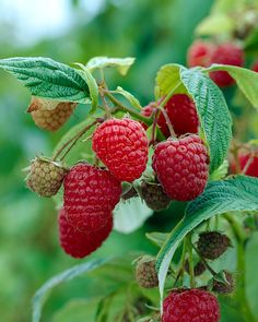 Nova raspberries - hardy to zone 2 Flowers That Attract Butterflies, High Country Gardens, Growing Raspberries, Growing Succulents, Greenhouse Gardening, Flowering Shrubs, Small Trees, Edible Garden, Colorful Flowers