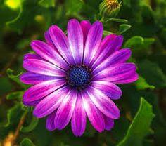 Purple Flowerslavenderdaisyfairies