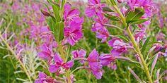 vrbovka úzkolistá Plants, Catalog, Flora, Plant, Planting