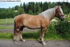 Finnhorse - stallion Passimies Harness Racing, Show Jumping, Dressage, Country Of Origin, Finland, Pony, Horses, Colours, Animals
