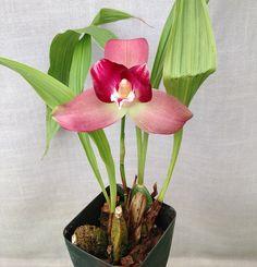 Orchid: Lycaste (skinneri alba x Chita Sunset) - Flickr - Photo Sharing!