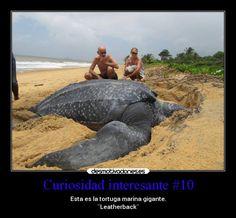 Tortuga Laúd.jpg (650×602)