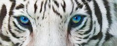 Wild Eyes - White Tiger by Carol Cavalaris. This artwork of a white tiger with emphasis on the intense blue eyes is from the Wild Eyes Collection of wildlife art by Carol Cavalaris.