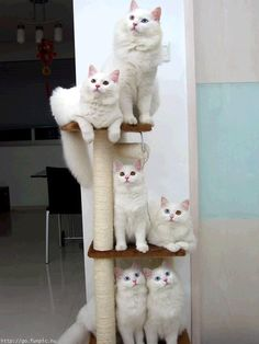 White Norwegian Forest Cats.......