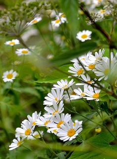 Marguerite daisy - deer and snails will stay away Happy Flowers, Flowers Nature, My Flower, White Flowers, Beautiful Flowers, Sunflowers And Daisies, Wildflowers, Daisy Love, No Rain