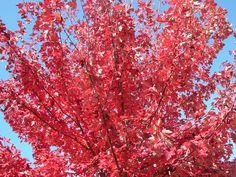 ACER rubrum 'Fairview Flame' (BG1LA/Scion) ↕ 15m. Arbre de taille moyenne à feuilles trilobées devenant rouge vif en automne, revers blanc bleuté. Nécessite une hygrométrie estivale élevée. Zone 4a(-34°C)