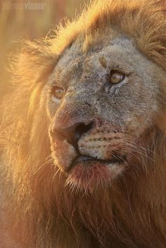 African Lion - African lion   African lion - Pilanesberg National Park - North West - South Africa
