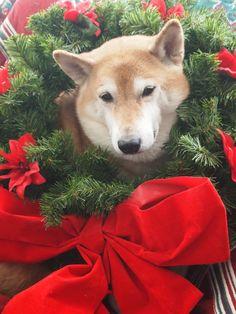 Christmas shiba