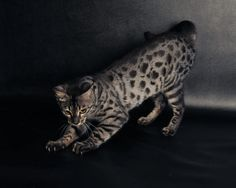 Indiancreek Bengals – Certified Reputable Breeder | Bengal Cats Bengals Illustrated Directory Savannah Cats, Bengal Cats, Cats And Kittens, Cute Animals, Kitty, Ink, Beautiful, Cat Breeds, Pretty Animals