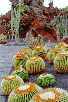 Cactus. Teguise Illes. Canaries. Spain