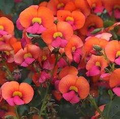Chorizema cordatum  Orange-red pea flowers in spring, on a fast growing scrambling shrub with heart shaped foliage. Ideal for rockeries and as an understory shrub. Perfers full sun to part shade position in well drained soil. Once established it is drought tolerant.