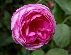 Rose des Peintres (Palatine Roses)