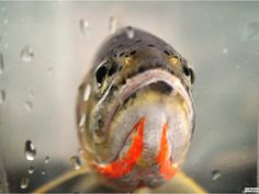 Environmental groups take legal action to protect Westslope cutthroat trout