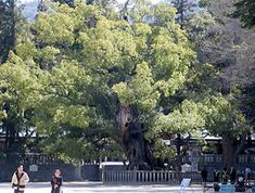 大山祇神社の大楠は樹齢2600年。愛媛県の絶対おすすめ観光スポット