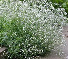Gypsophila paniculata 'Snowflake'- 24-36 inches tall