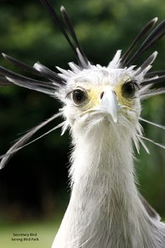 Portrait of a secretary bird