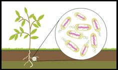 Without bacteria the earth would have no soil in which to grow plants.  https://www.facebook.com/scholarslearning/photos/a.744091828942643.1073741828.731990170152809/901242319894259/?type=1&theater