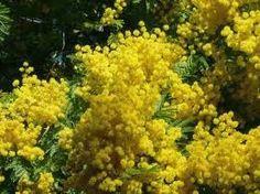 poesia...un ramo di mimosa per...