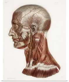 Poster Print Wall Art entitled Head and neck anatomy, historical artwork #greatBIGcanvas #Modernism